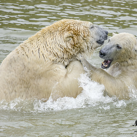 Fighting Polar Bears, Sony ILCE-7M2, Sigma AF 500mm F4.5 EX DG APO