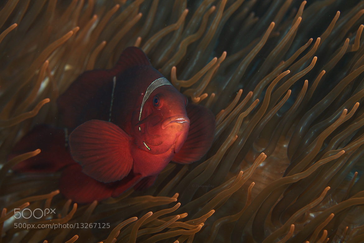 Photograph Spine cheek Clownfish  by Kirin Goh on 500px