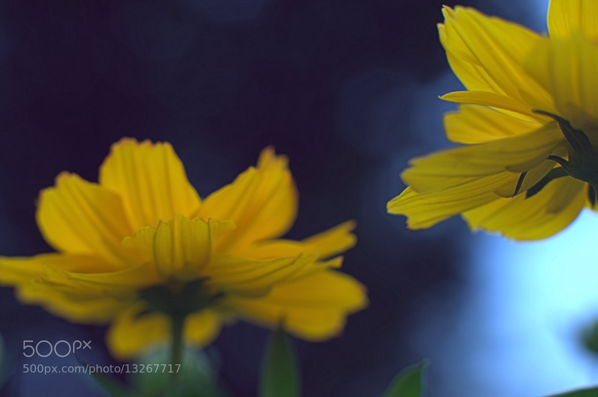 Photograph cosmos to look up at by takashi kitajima on 500px