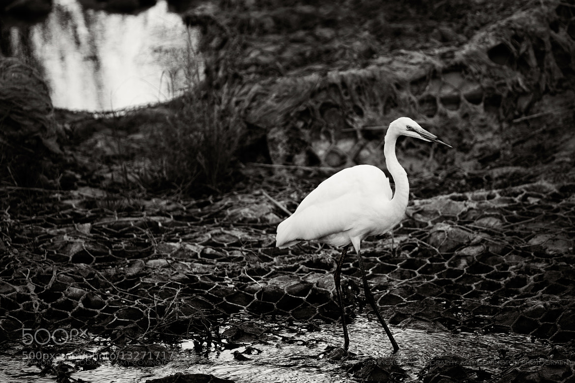 Photograph 183/365 : Urban Egret by Amy Covington on 500px
