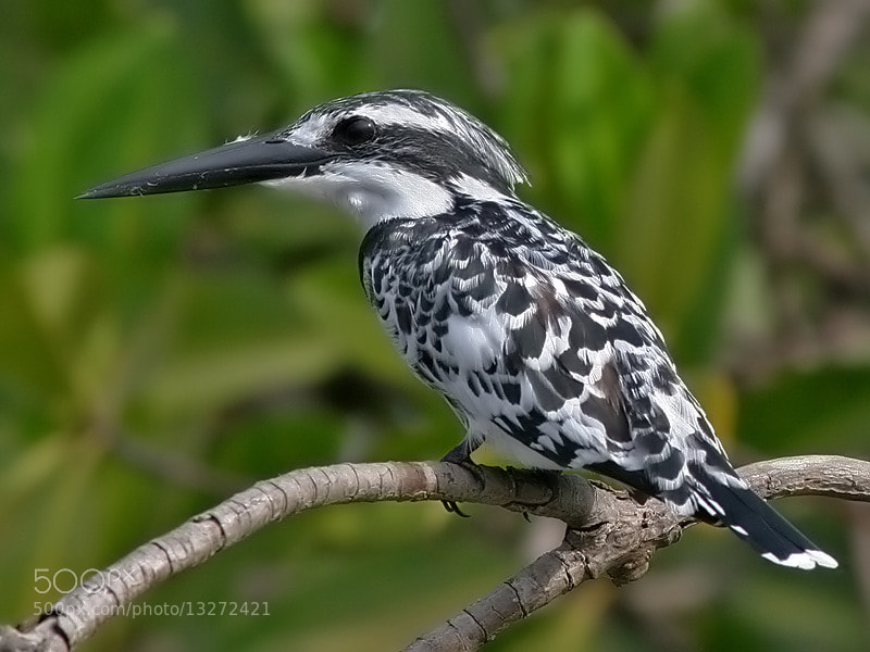 Photograph Pied Kingfisher by Aat Bender on 500px