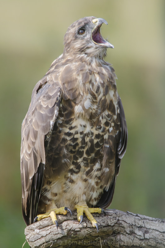 Photograph Buzzard Call by Tom Hadley on 500px