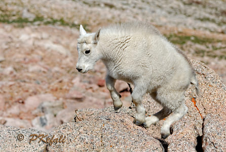 Baby Steps (Mountain Goats - Colorado)