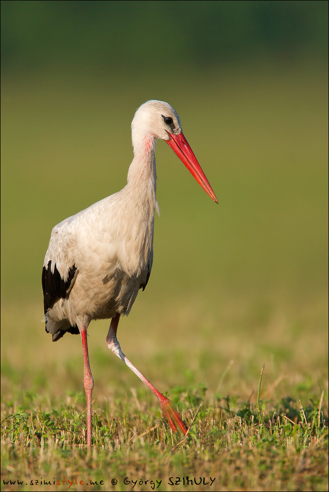 Photograph White Stork (Ciconia ciconia) by Gyorgy Szimuly on 500px