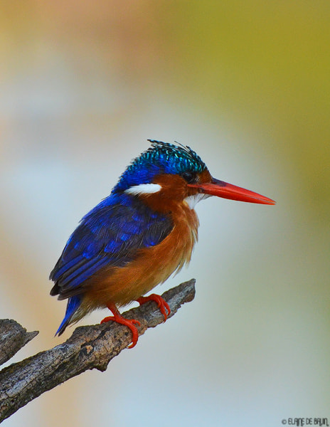 Photograph Malachite Kingfisher by Elaine  de Bruin on 500px