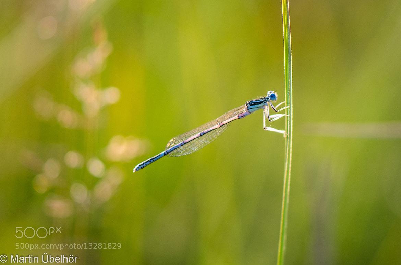 Photograph Little Blue Dragonfly by Martin Übelhör on 500px