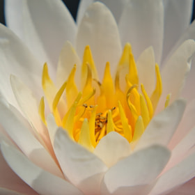 Nymphaea by Francesco  Alamia  (Franck85)) on 500px.com