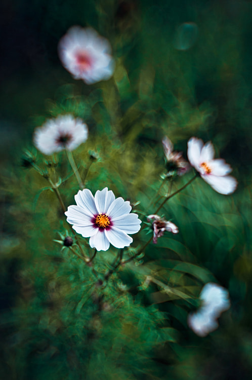 Photograph Cosmos by Magda Wasiczek on 500px