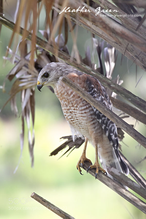 Photograph Red Shouldered Hawk Hunting by Heather Green on 500px