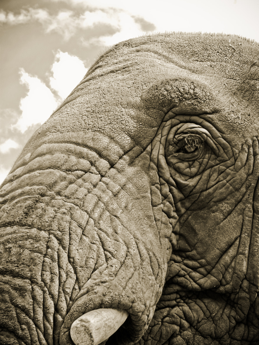 Photograph Elephant Stare by Tom Gonzalez on 500px
