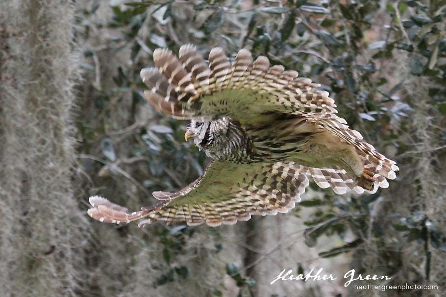 Photograph Barred Owl Flight by Heather Green on 500px