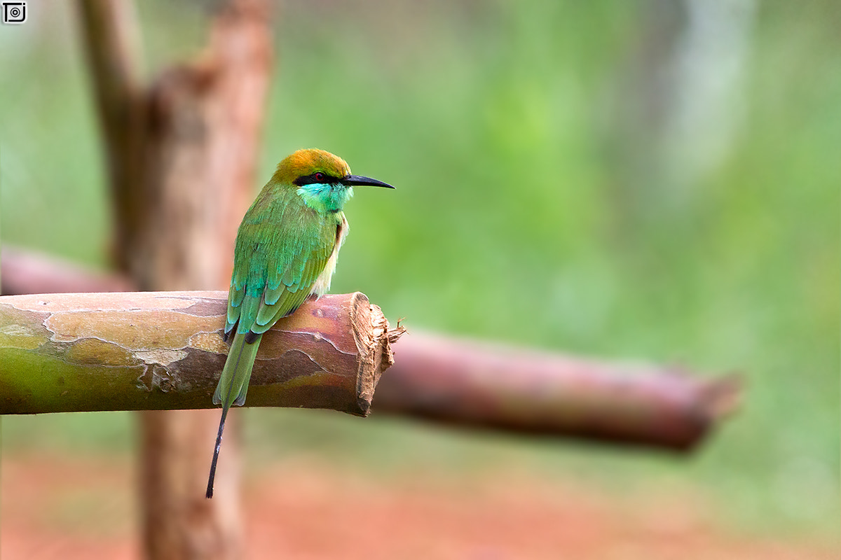 Photograph Green BeeEater by Thejaswi GVN on 500px