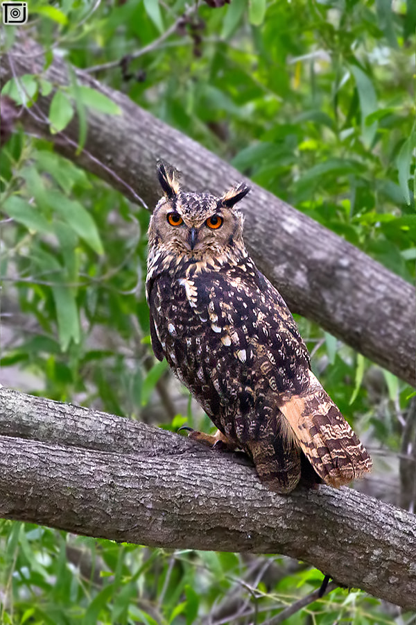 Photograph Indian Eagle-Owl by Thejaswi GVN on 500px