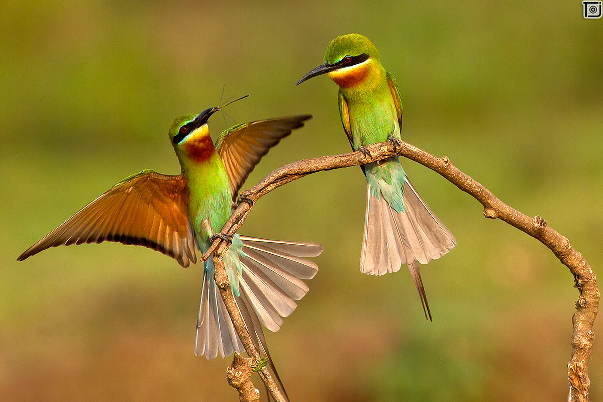 Photograph Blue-tailed BeeEater  by Thejaswi GVN on 500px