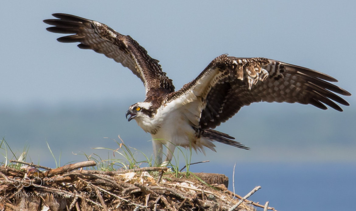 Photograph Osprey at 9:30am  by George Bloise on 500px
