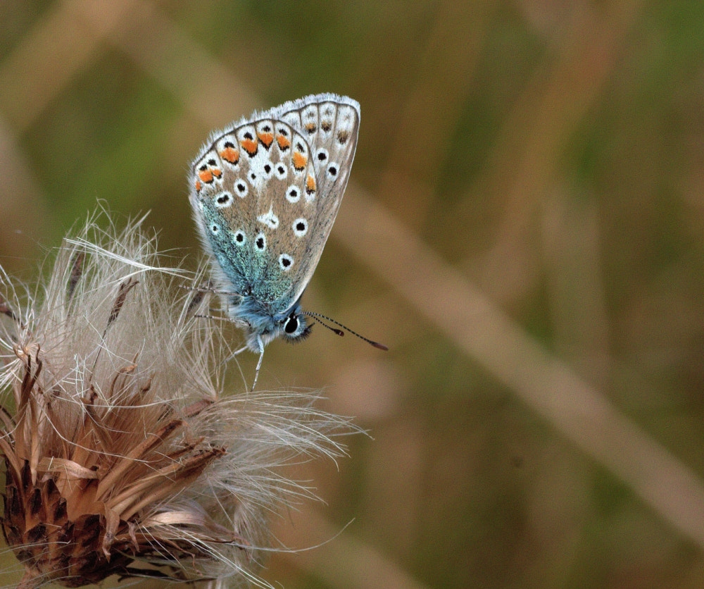 Photograph Male Common Blue Butterfly by Chrissie Barrow on 500px