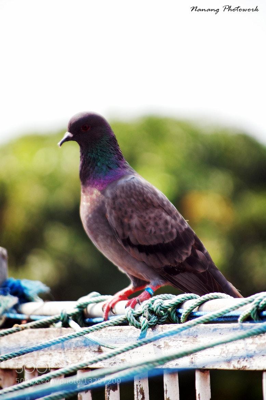 Photograph Pigeon by Nanang Kusuma on 500px