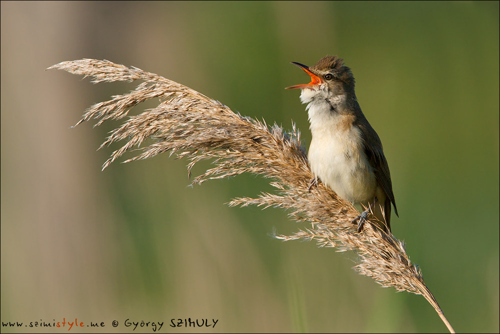 Photograph Great Reed Warbler (Acrocephalus arundinaceus) by Gyorgy Szimuly on 500px