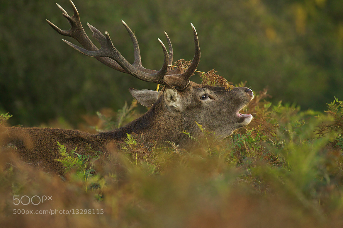 Photograph Red deer rut by Sylwia Domaradzka on 500px