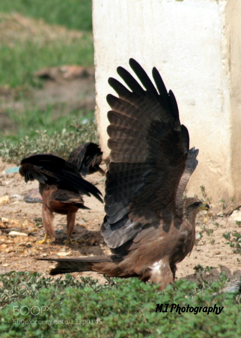 Photograph The Black Kite by Mohamed Ismael on 500px