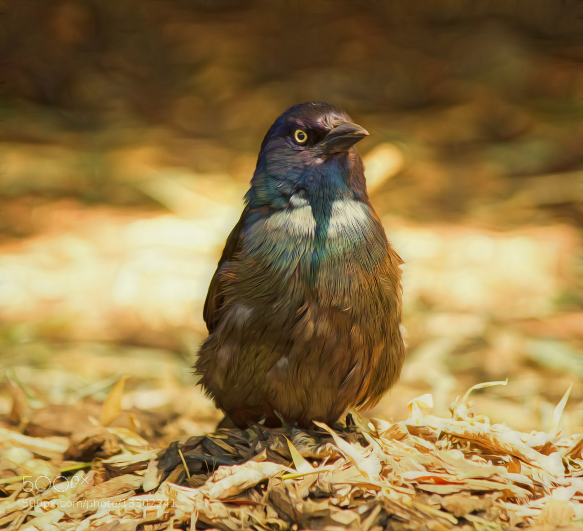 Photograph Grackle by Linda Tiepelman on 500px