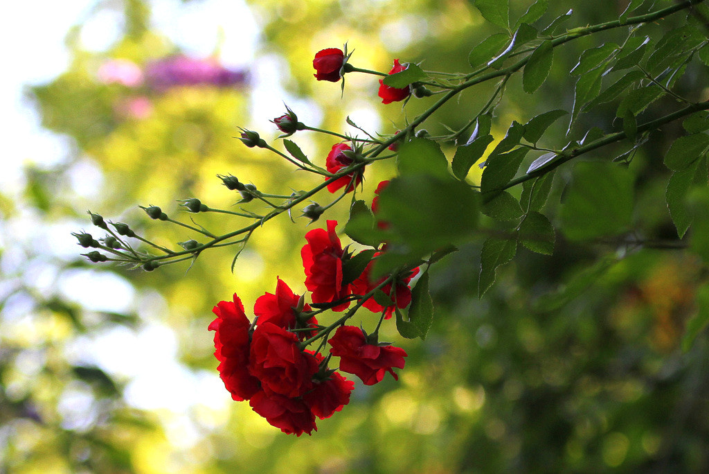 Photograph Red dog roses by Rainer Leiss on 500px