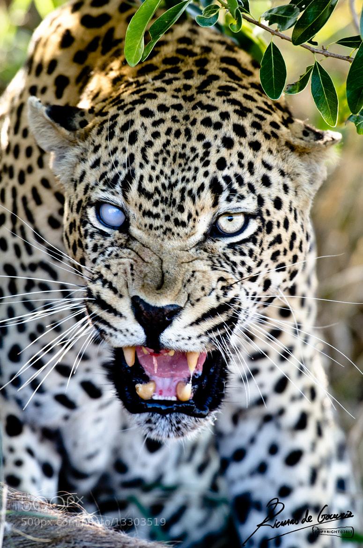 angry baby cheetah - photo #40
