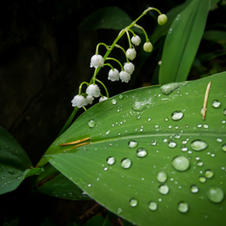 Lily of the Valler