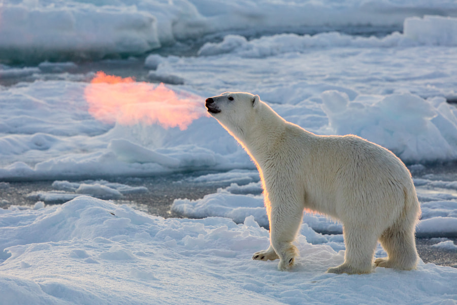 Fire Breathing Bear by Josh Anon on 500px.com