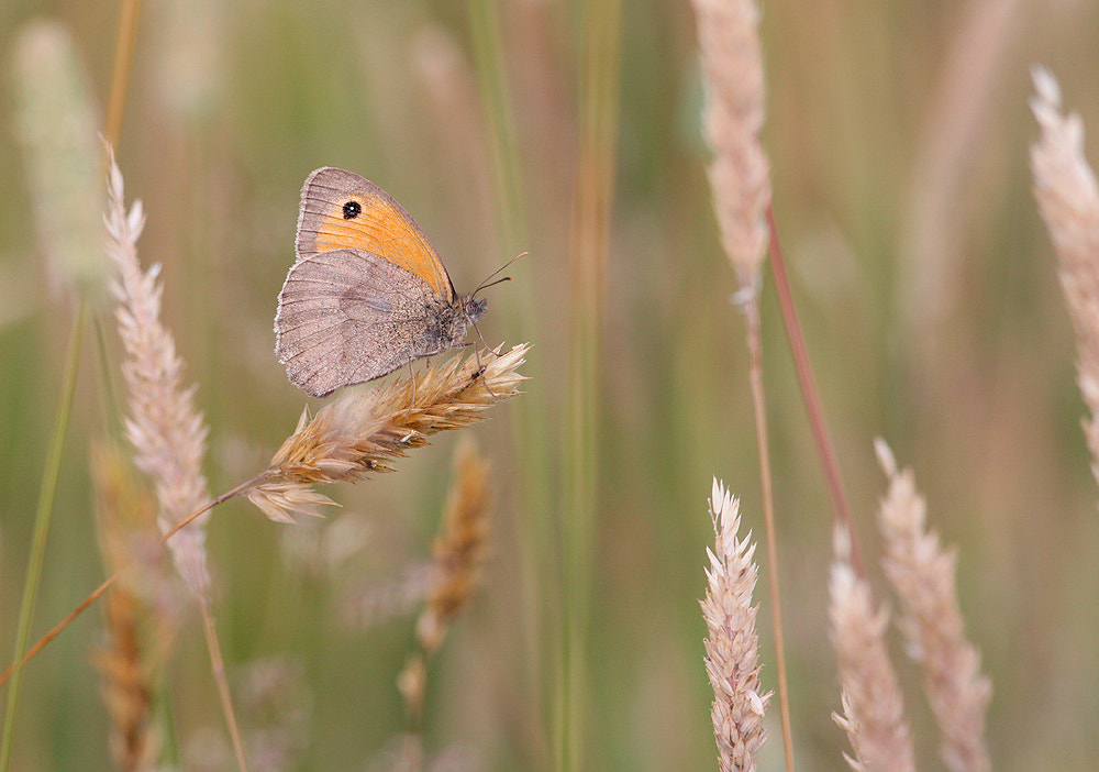 Photograph Meadow brown  by Kevin  Keatley on 500px