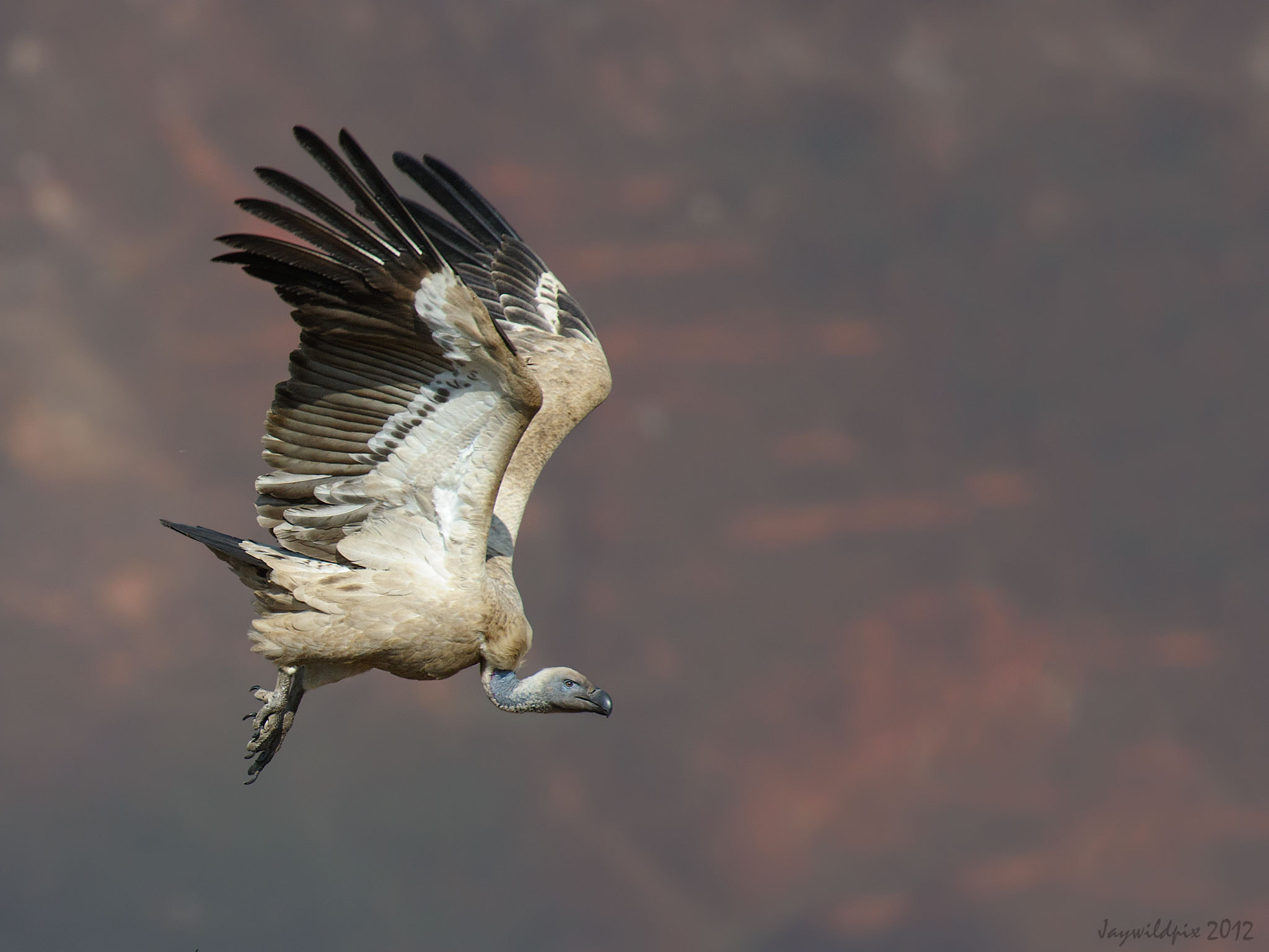 Photograph Cape Vulture. South Africa by Jay van Rensburg on 500px
