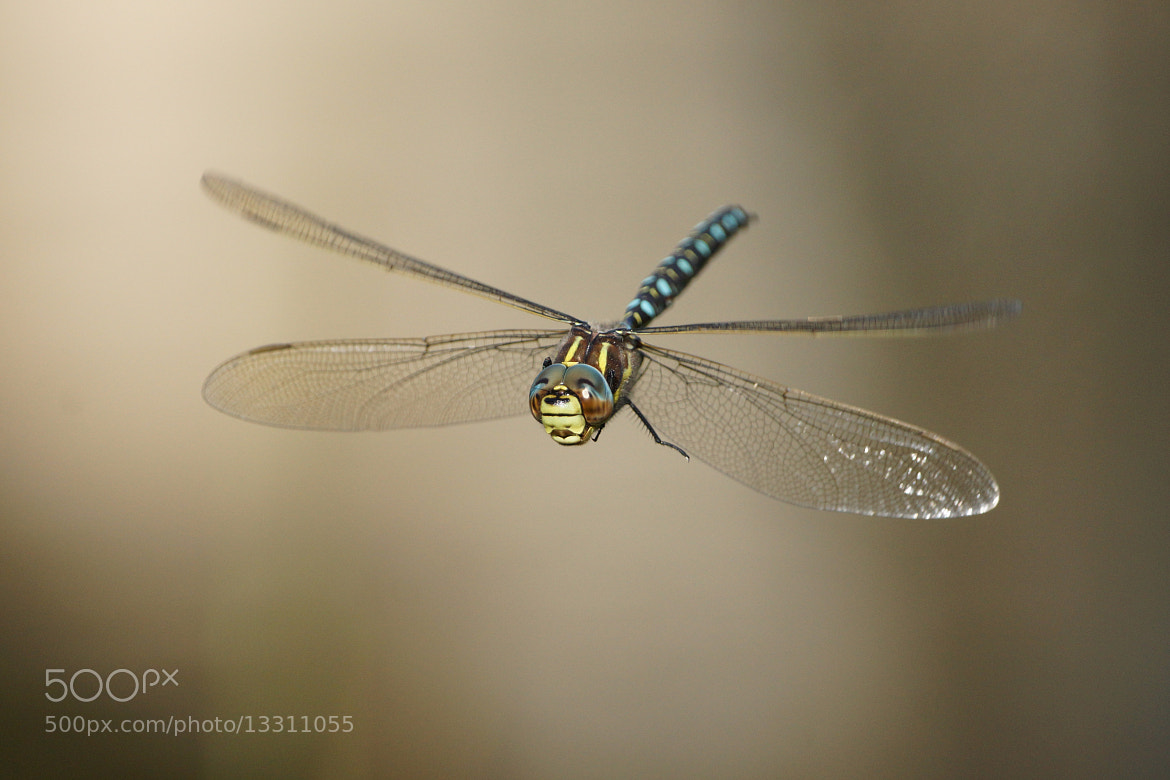 Photograph another in-flight dragonfly. by Mike Turtle on 500px