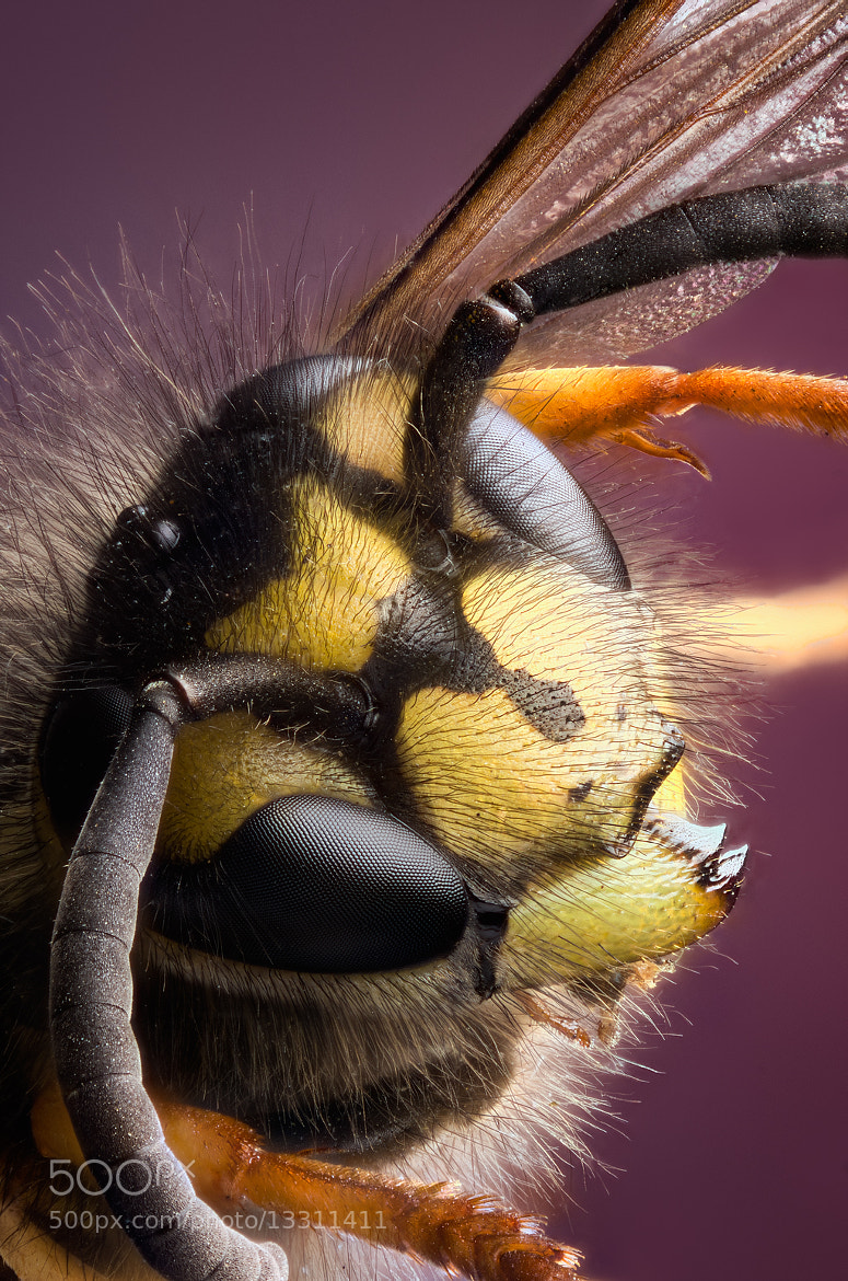 Photograph Common Wasp by Richard Iles on 500px