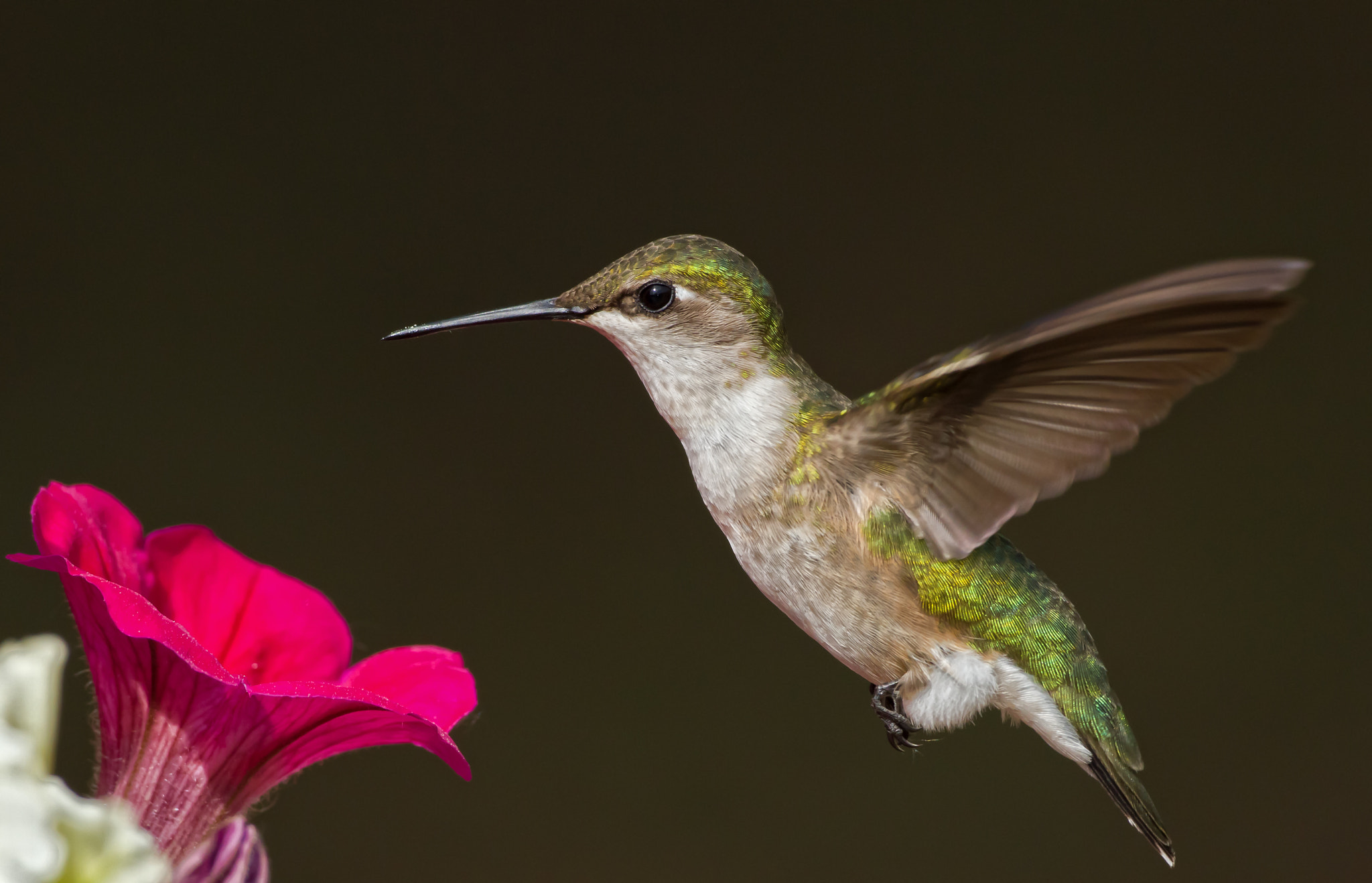 Photograph Hummingbird by Daniel Gelinas on 500px