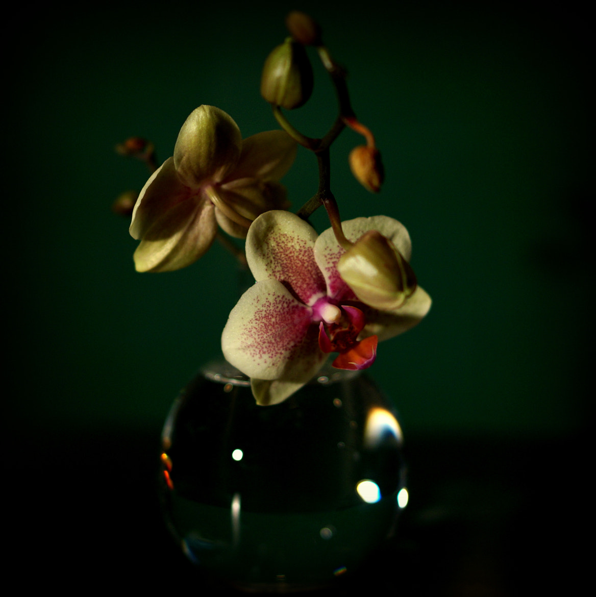 Photograph Orchid 22/365 by Martina Johansson on 500px
