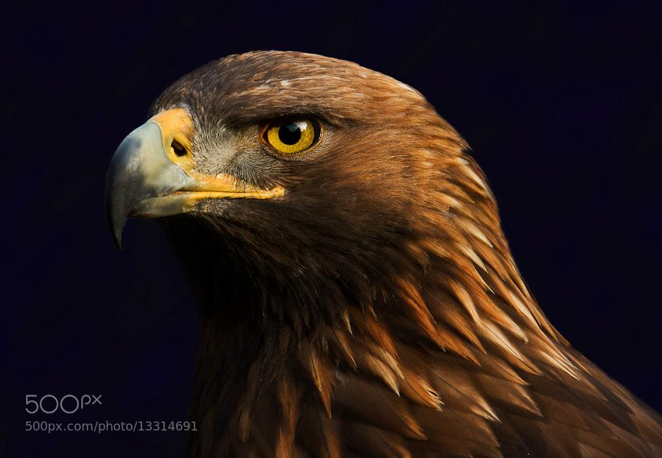 Photograph eagle by pictures of memory on 500px