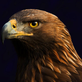 eagle by pictures of memory (pictures-of-memory)) on 500px.com