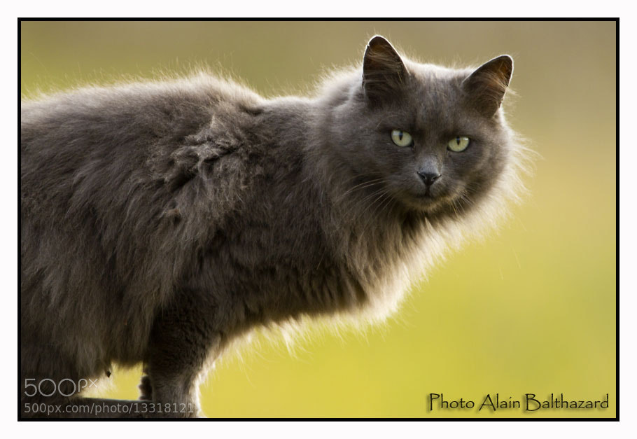 Photograph The big cat by Alain Balthazard on 500px