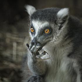 Lemure / lemurs