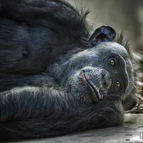 Schimpanse / Chimp