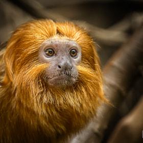 Löwenaffe / monkey