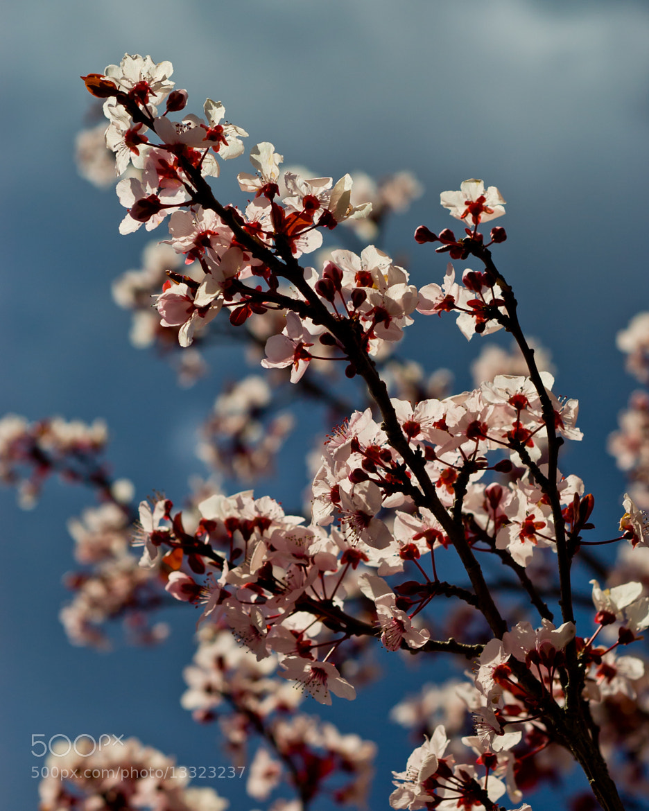 Photograph Blossoms by Ben Eloy on 500px
