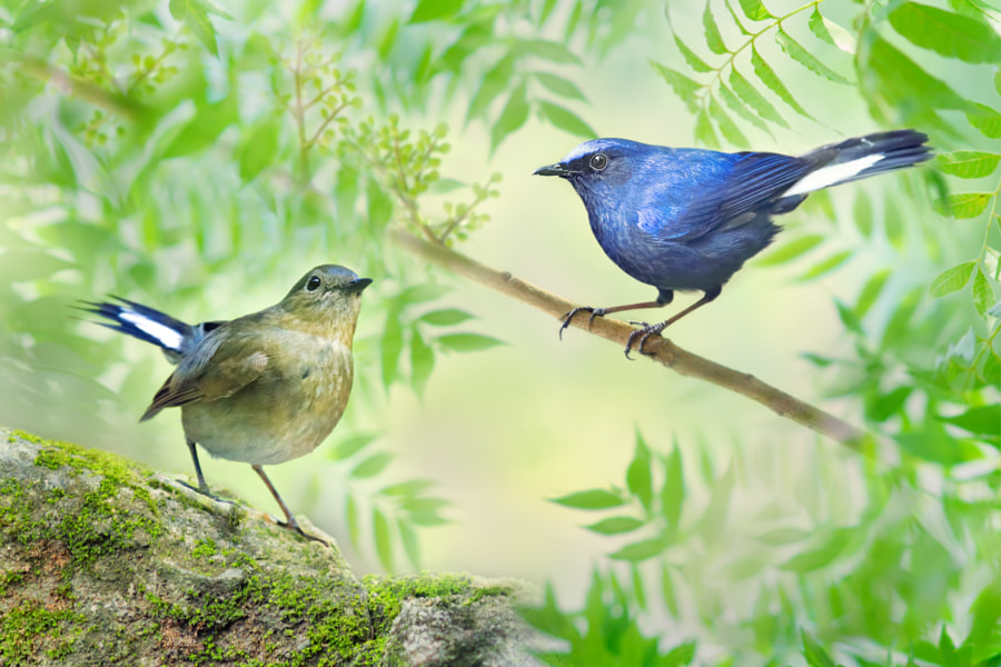 The White-tailed Robin Couple by Sue Hsu on 500px.com