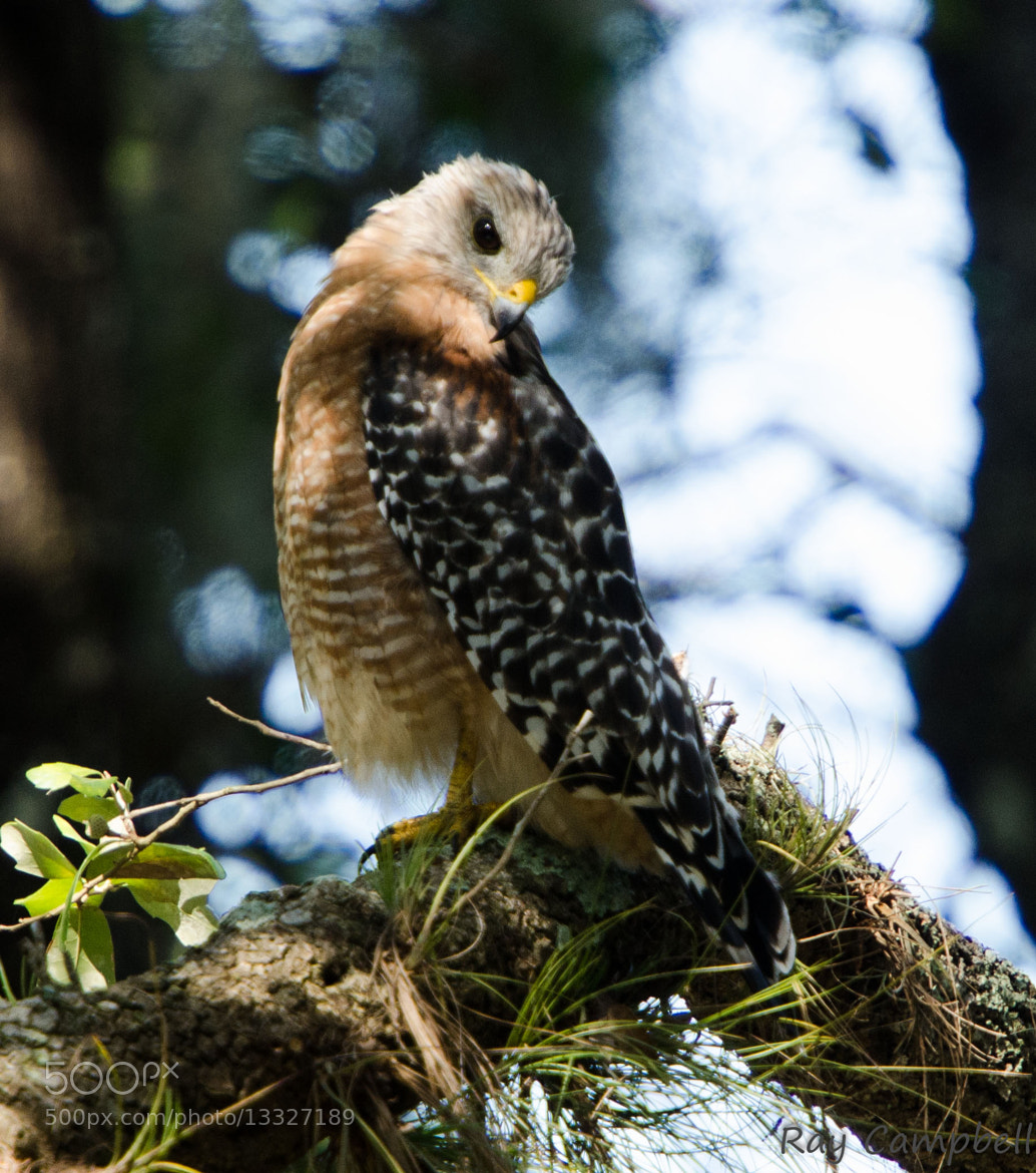 Photograph Red Shouldered Hawk by Ray Campbell on 500px
