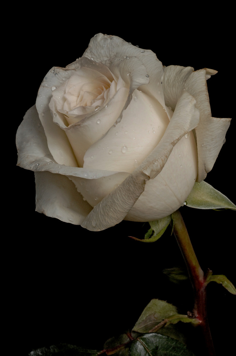 Photograph white rose with drops by Cristobal Garciaferro Rubio on 500px