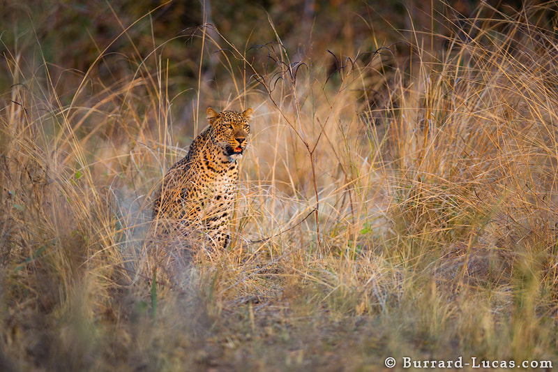 Photograph South Luangwa Leopard by Will Burrard-Lucas on 500px