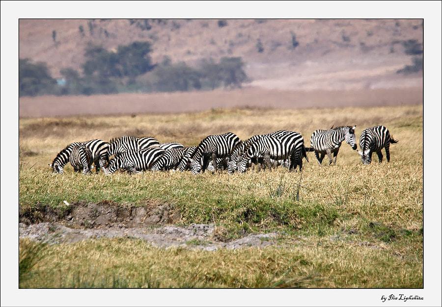 Zebra...