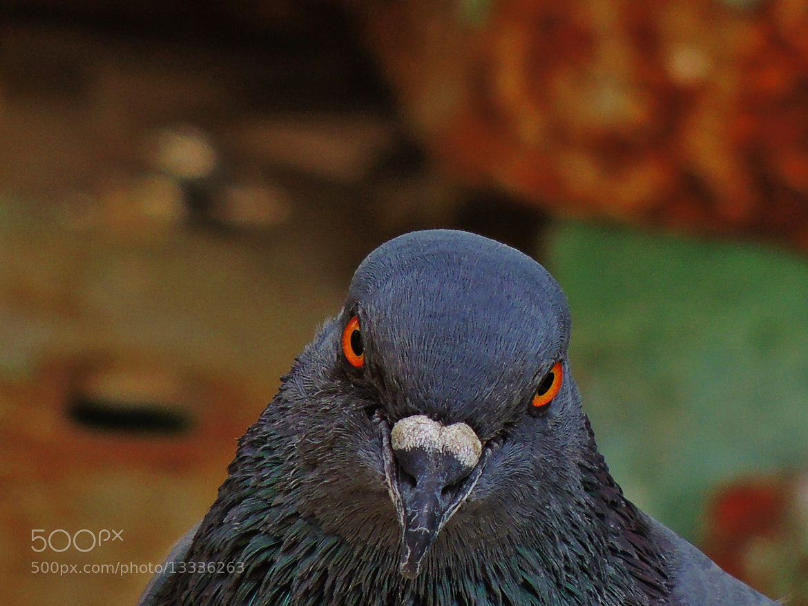 Photograph Pigeon's head up close by Ravi S R on 500px