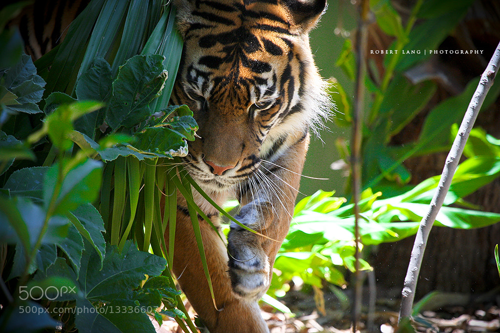 Photograph Tiger by Robert Lang on 500px