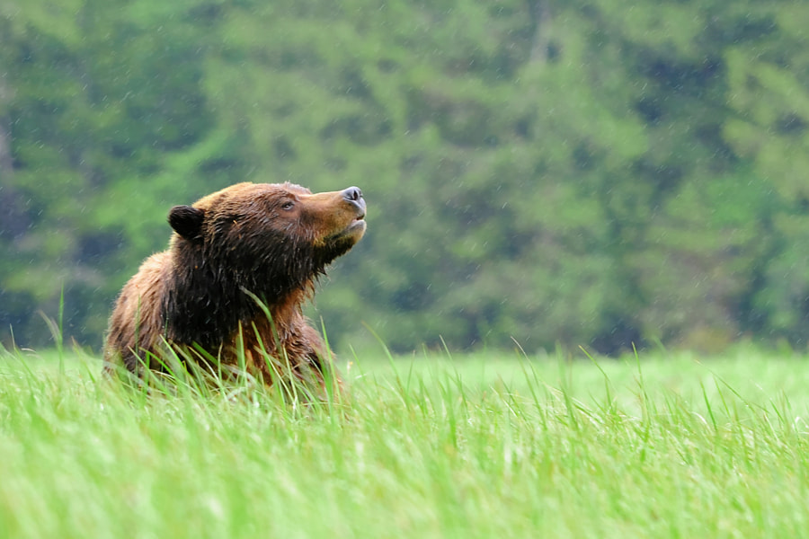 Grizzly Bear, British Columbia, Canada by Kathryn Burrington on 500px.com